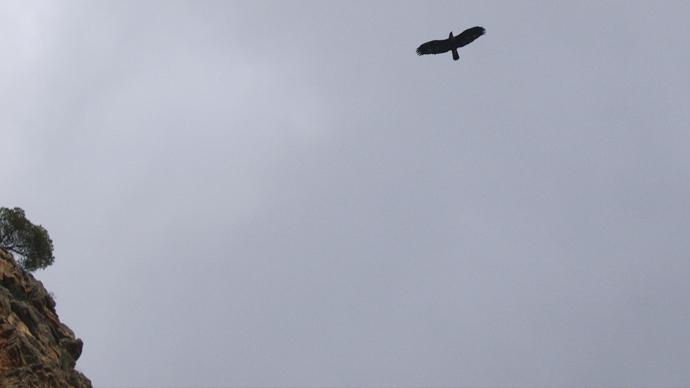 Águila sobrevolando el Cañón