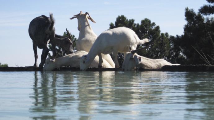 Cabras bebiendo en la balsa
