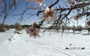 Fondo de pantalla almendros nevados